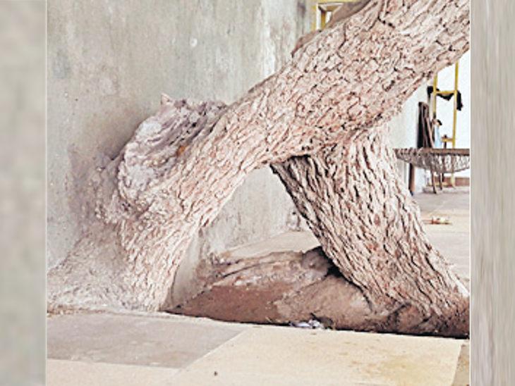 200 વર્ષથી આસ્થાનું કેન્દ્ર, ખીજડાના વૃક્ષ નીચેથી નિકળવાથી મટી જાય છે જૂની ઉધરસ|જુનાગઢ,Junagadh - Divya Bhaskar