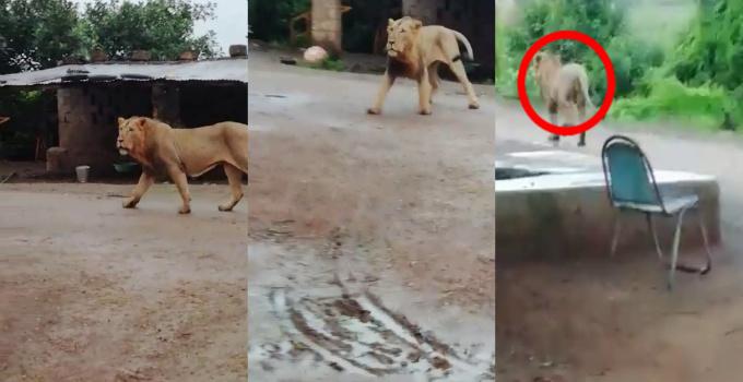 જૂનાગઢના ગામડામાં બિન્દાસ લટાર મારતાં સિંહનો વીડિયો વાઇરલ| - Divya Bhaskar