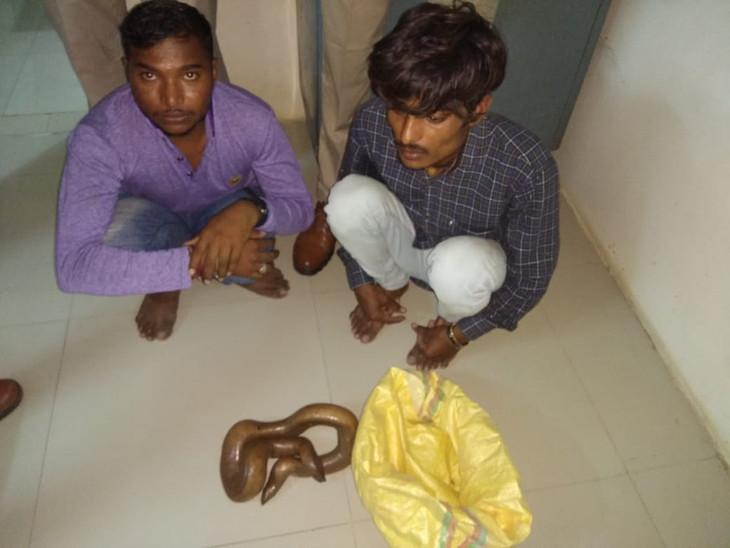 બે મો ધરાવતા સાપને 2 કરોડમાં વેચે તે પહેલા બે શખ્સોની ધરપકડ - Divya Bhaskar