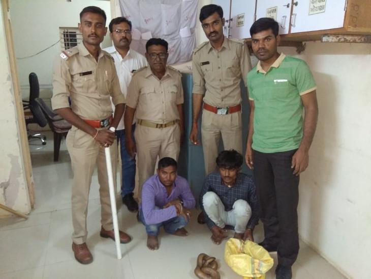 મુંબઇના ગ્રાહકને રાજકોટ બોલાવી બે કરોડમાં રેડ સેન્ડ બોઆ સાપ વેચે તે પહેલા બે ઝડપાયા  - Divya Bhaskar