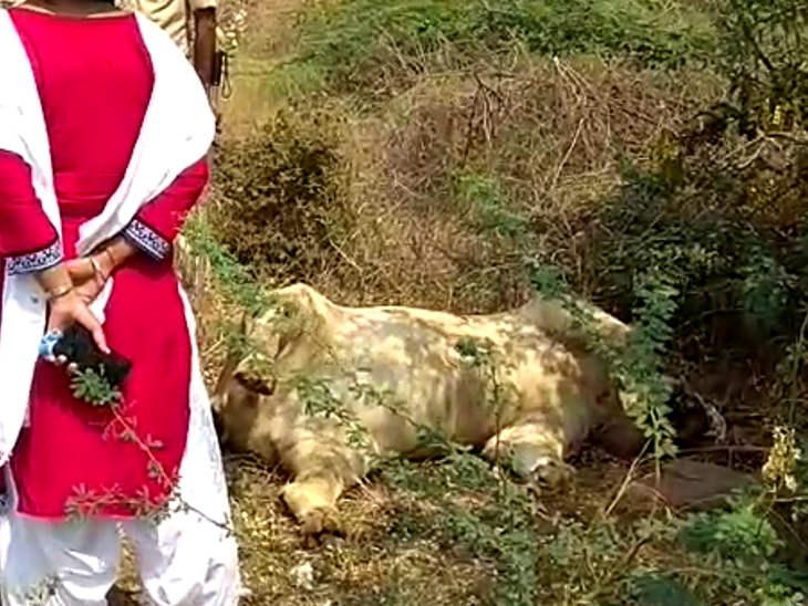 સરકાર ઘોર નિંદ્રામાં ગીરના જંગલમાં ટપોટપ મરતા સિંહ, 11 દિવસમાં 6 સિંહબાળ સહિત 11ના મોત અમરેલી,Amreli - Divya Bhaskar
