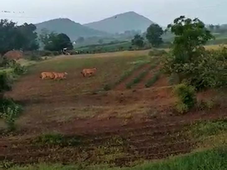 ગીરનું જંગલ છોડી 9 સાવજો શિકારની શોધમાં આવી ચડ્યા રેવન્યુ વિસ્તારમાં|જુનાગઢ,Junagadh - Divya Bhaskar