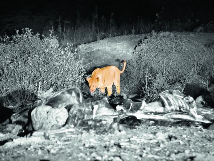 સિંહોના મોતનો વાઈરસ: ગીરમાં દાટવાને બદલે ખુલ્લામાં ફેંકાતા મૃત ઢોરનો નિકાલ એક કારણ અમરેલી,Amreli - Divya Bhaskar