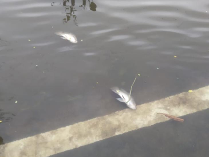 કંપનીઓનું કેમિકલયુક્ત પાણી છોડાતા ઉંડેરા તળાવમાં હજારો માછલીઓના મોત ઈન્ડિયા,National - Divya Bhaskar