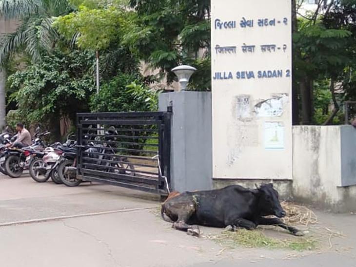 ભેસ્તાન પાંજરાપોળમાં બીમાર ગાયો ન સ્વિકારાતા ક્લેક્ટર કચેરી સામે બાંધી દેવાઈ|સુરત,Surat - Divya Bhaskar