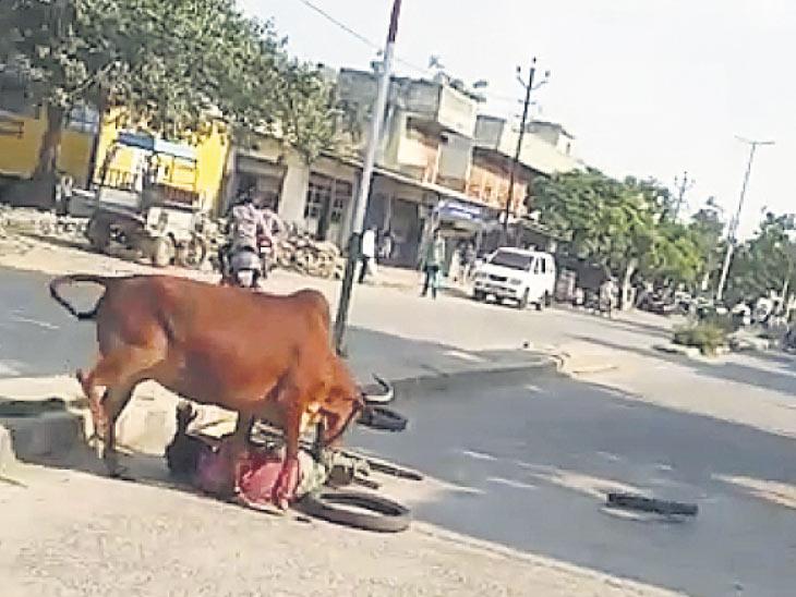 માંગરોળમાં હડકવા ઉપડતાં ગાયે 2 યુવાનોને હડફેટે લીધા|જુનાગઢ,Junagadh - Divya Bhaskar