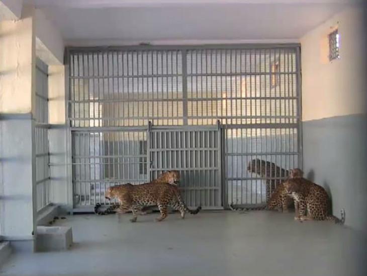 જેલમા કેદ 61 માનવભક્ષી દીપડા પાછળ મહિને 12.81 લાખનો ખર્ચ, સાસણની જેલ હાઉસફૂલ, વન વિભાગ લાચાર જુનાગઢ,Junagadh - Divya Bhaskar