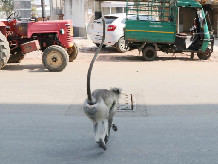 એરપોર્ટ પરથી 50 વાંદરા પકડી છેક દાહોદ છોડાયા, વન વિભાગની ટીમ દિવસ-રાત વાંદરા પકડે છે| - Divya Bhaskar