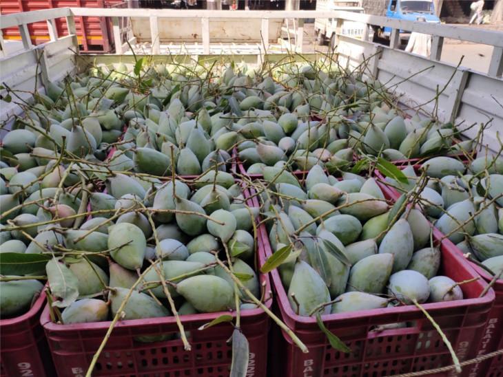 કોરોનાથી કેરીના વેચાણને ગ્રહણ, 9 કરોડ કિલો કેરી આંબા પર જ લટકતી રહેતા ખેડૂતો નિરાશ, 15 કરોડના નુકશાનની સંભાવના|સુરત,Surat - Divya Bhaskar