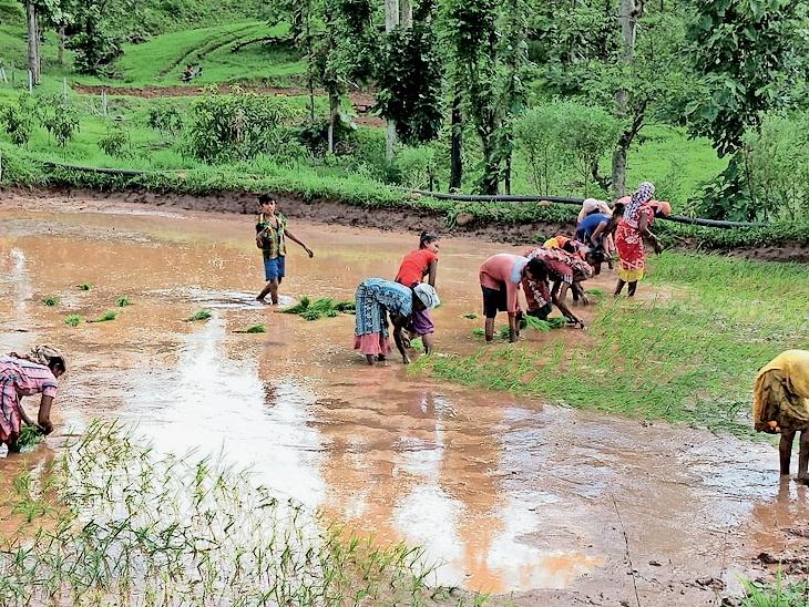 ડાંગ જિલ્લામાં ખેડૂતોએ ડાંગરની વાવણી શરૂ કરી આહવા,Ahwa - Divya Bhaskar