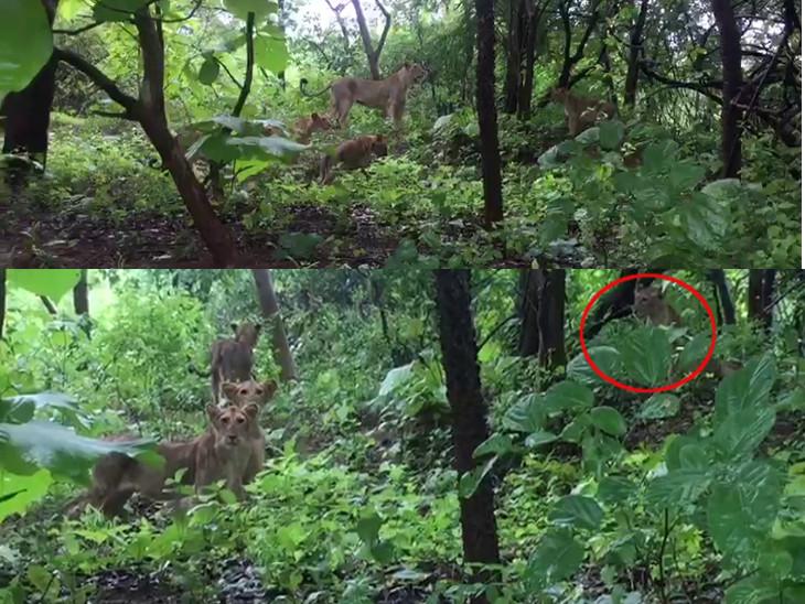 મેઘમહેરથી ગીર સોળે કળાએ ખીલ્યું, સિંહ પરિવારની જંગલમાં લટાર, વીડિયો વાઇરલ|જુનાગઢ,Junagadh - Divya Bhaskar