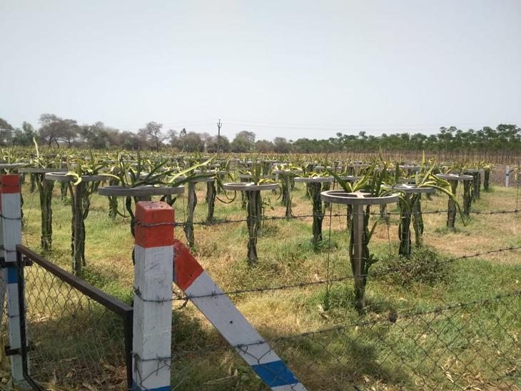 મોટાહબીપુરાના ખેડૂતની ડ્રેગન ફ્રૂટની ખેતીની 'મન કી બાત'માં સરાહના|ડભોઈ,Dabhoi - Divya Bhaskar