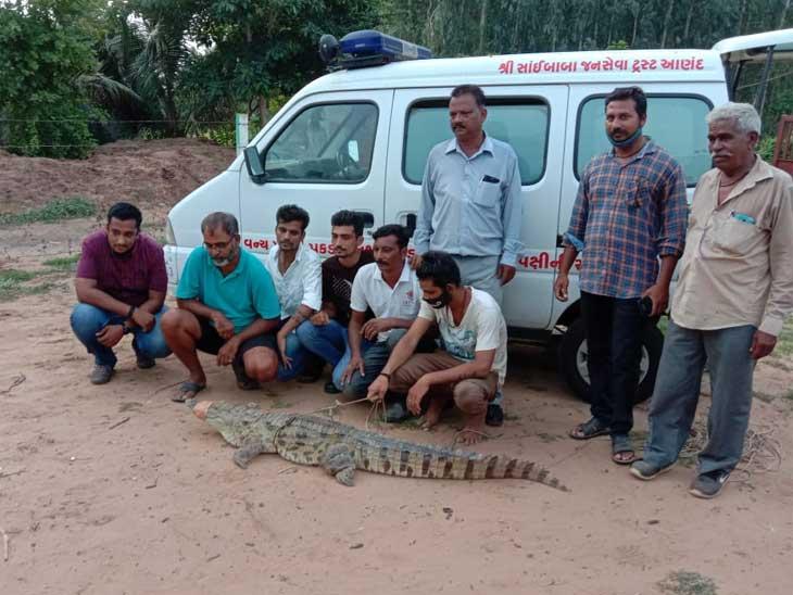 પોણા છ ફૂટનો મગર માછીમારીની નેટમાં ફસાયો, 25 મિનિટમાં રેસ્ક્યુ ઓપરેશન કર્યું અમદાવાદ,Ahmedabad - Divya Bhaskar