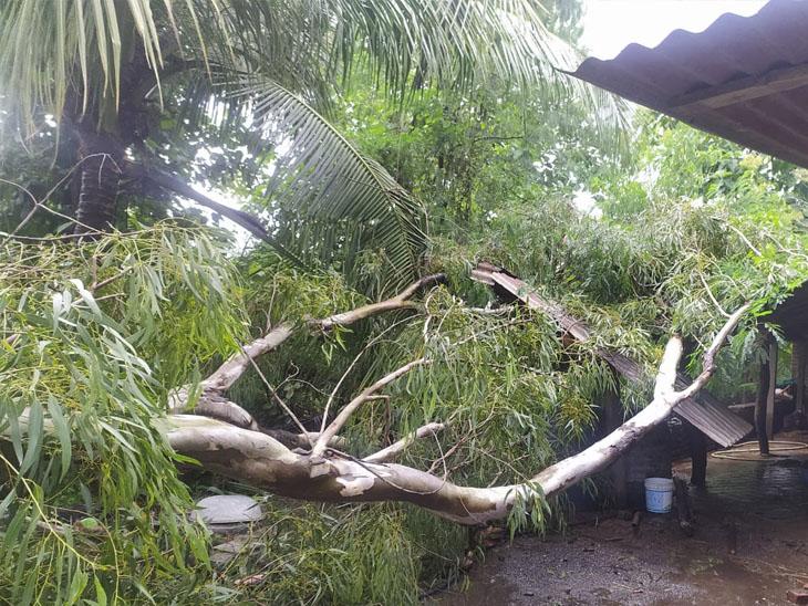 વાલોડ-ખાનપુર રોડ પર નીલગીરીનું વૃક્ષ કોઢાર પર પડ્યું, વીજલાઈનને નુકસાન|બારડોલી,Bardoli - Divya Bhaskar