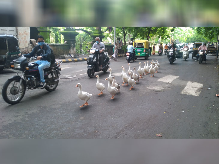 શિસ્તબદ્ધ રીતે રોડ પર કતારમાં ચાલતાં બતકો - Divya Bhaskar