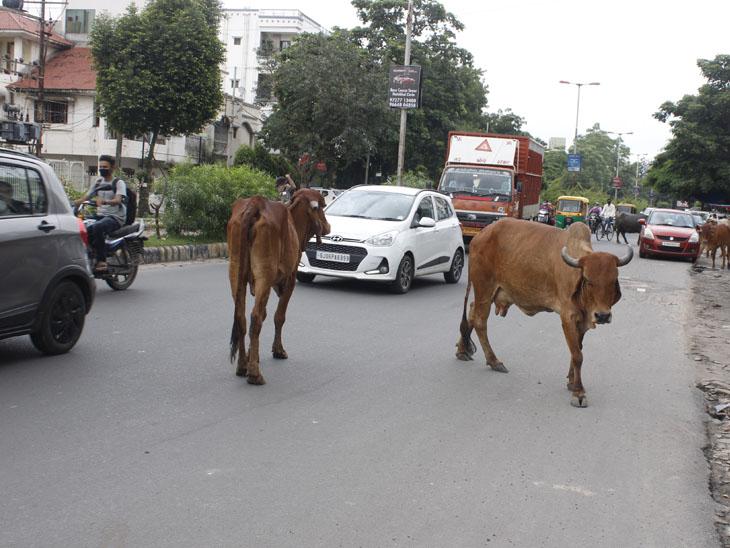 અકોટા વિસ્તારમાં રસ્તે રખડતાં ઢોરોથી રાહદારીઓ ત્રસ્ત થઈ ગયા છે. - Divya Bhaskar