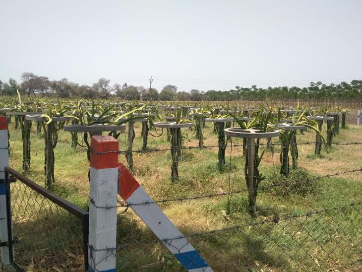 મહારાષ્ટ્રના નંદુરબારથી 60 રૂપિયાના ભાવે 400 છોડની ખરીદી કરી હતી.