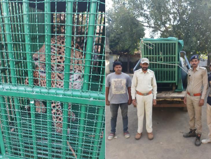 ધારી ગીર પૂર્વની પાણીયા રેન્જમાં 5 વર્ષના બાળકને ફાડી ખાનાર માનવભક્ષી દીપડો પાંજરે પુરાયો, બાળકનું ગળુ પકડી ઢસડીને લઈ જતા મોત થયું હતું|અમરેલી,Amreli - Divya Bhaskar