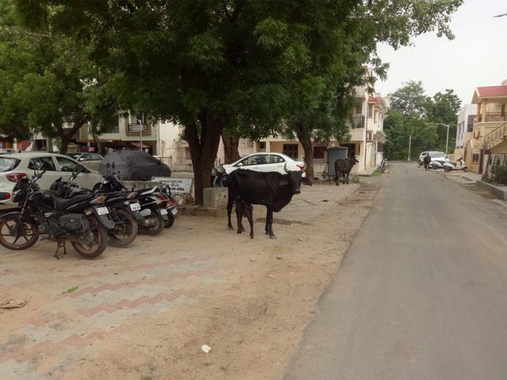 રઝળતા વાછરડાંને ખોરાક શોધી આપતી ગાય માતા|ગાંધીનગર,Gandhinagar - Divya Bhaskar