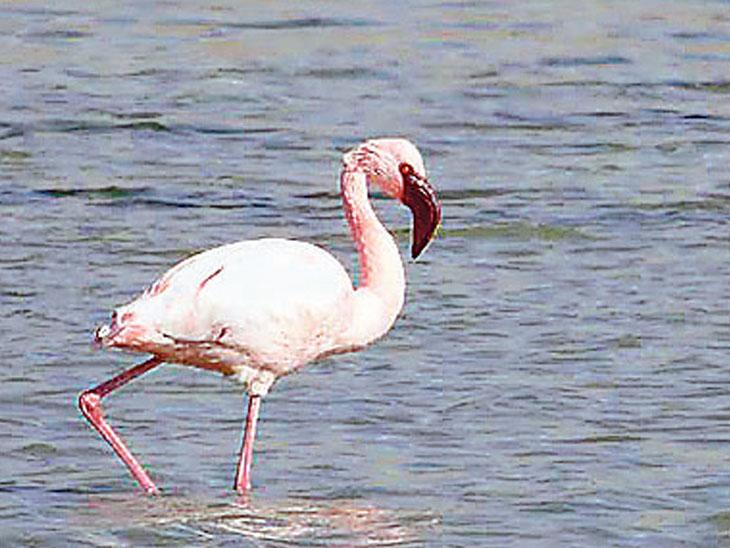 લાલ પગ વાળું પક્ષી લેસર વ્હાઈટ ફ્રન્ટેડ ગુઝ - Divya Bhaskar