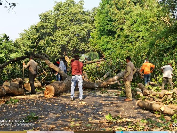 બહાદરપુર ગોલાગામડી વચ્ચે સસ્તા અનાજના ગોડાઉનની સામે વડના ઝાડની નીચેથી છેલ્લાં ત્રણ દિવસ દરમિયાન 62 વક્ષીઓ મૃત હાલતમાં મળી આવતા વડની ડાળીઓ દૂર કરવા જંગલખાતાએ કાર્યવાહી કરી. - Divya Bhaskar