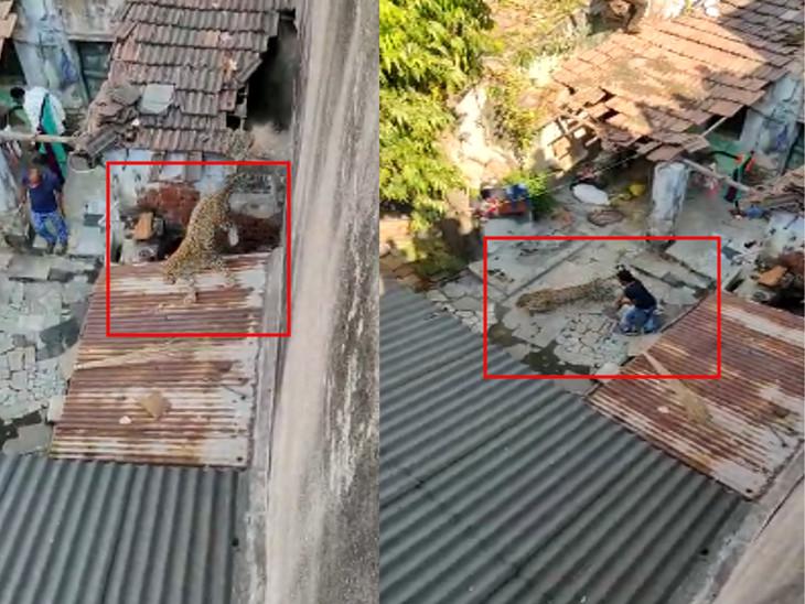 ગોંડલના બંધ મકાનમાં દીપડો ઘૂસ્યો, ન.પા.ના કર્મચારી જોવા ગયા અને દીપડાએ હુમલો કરી દેતાં લોહીલુહાણ, દીપડો બહાર નીકળતાં જ લોકોમાં અફરાતફરી|રાજકોટ,Rajkot - Divya Bhaskar