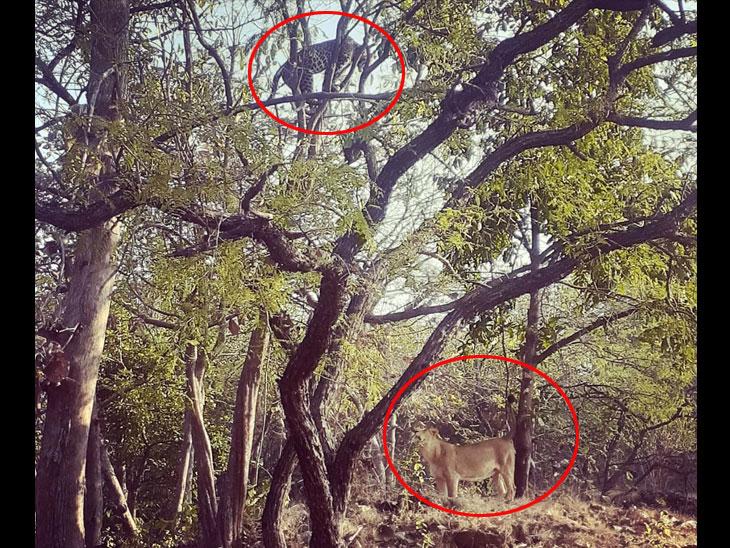 ગીરના જંગલમાં સિંહને જોઈને દીપડો ઝાડ પર ચઢી ગયો, સિંહ થોડો આઘોપાછો થતાં માંડ ભાગવાનો મોકો મળ્યો, ઘટના કેમેરામાં કેદ|જુનાગઢ,Junagadh - Divya Bhaskar