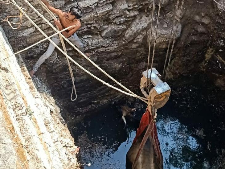 જસદણમાં ખુલ્લા કૂવામાં ખાબકેલી ગૌમાતાનું રેસ્ક્યૂ|જસદણ,Jasdan - Divya Bhaskar