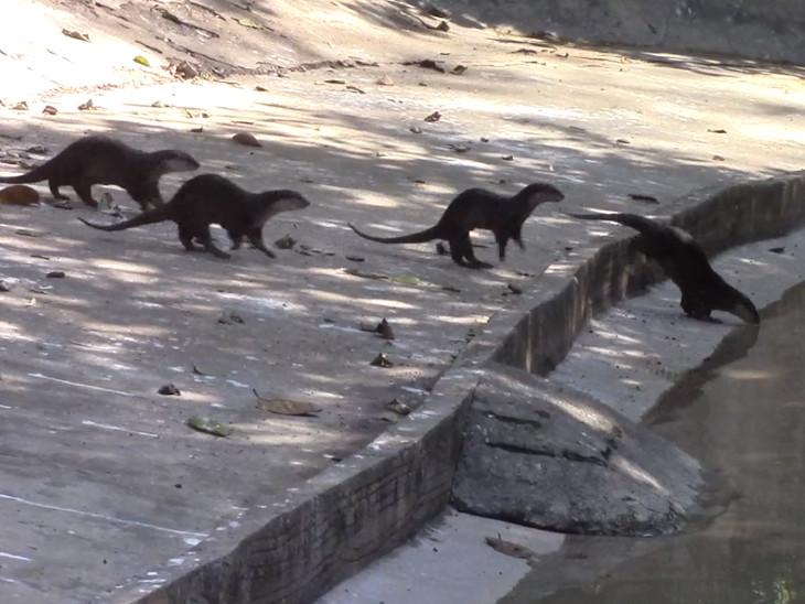 સુરતનું પ્રાણી સંગ્રહાલય જળબિલાડીના બ્રિડીંગમાં દેશમાં મોડલ બન્યું, ચાર રાજ્યો દ્વારા જળબિલાડીની માંગ કરાઈ|સુરત,Surat - Divya Bhaskar