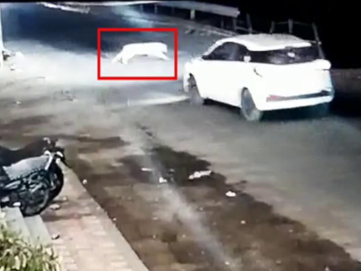 ધારીમાં ચાલુ કાર આગળ અચાનક જ દીપડાએ પૂરપાટ ઝડપે જોખમી રીતે રોડ ક્રોસ કર્યો, ચાલકે બ્રેક મારતા બચી ગયો, ઘટના CCTVમાં કેદ|અમરેલી,Amreli - Divya Bhaskar