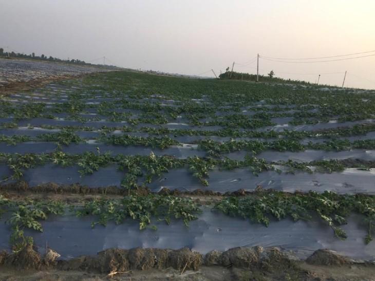 તરબૂચની ખેતી જાન્યુઆરી-ફેબ્રુઆરી મહિનામાં શરૂ થાય છે. જો સારું ઉત્પાદન થાય તો એક લાખ રૂપિયા સુધી કમાણી થઈ શકે છે