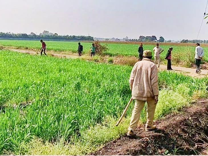 રાજકોટના ધોરાજી પંથકમાં 2 સિંહ ત્રાટક્યા, છેલ્લા 8 દિવસમાં 2 પશુનું મારણ કર્યું, ખેડૂતોમાં ફફડાટ|રાજકોટ,Rajkot - Divya Bhaskar