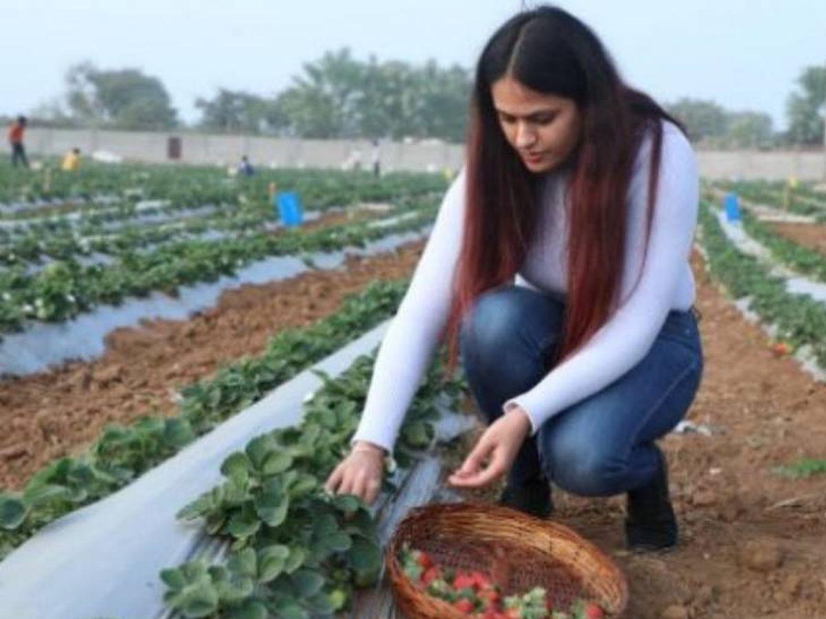ઝાંસીમાં રહેતી ગુરલીન ચાવલા ઓર્ગેનિક રીતે સ્ટ્રોબેરીની ખેતી કરે છે. હાલમાં જ મન કી બાતમાં PM મોદીએ તેમનો ઉલ્લેખ કર્યો હતો. - Divya Bhaskar