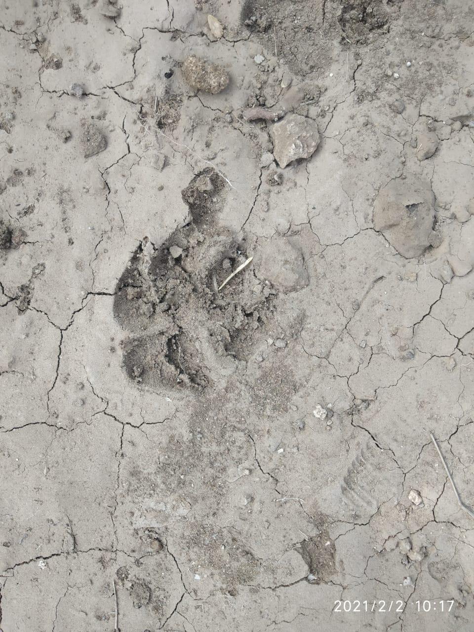 દીપડાના પગના નિશાન જમીન પર દેખાયા