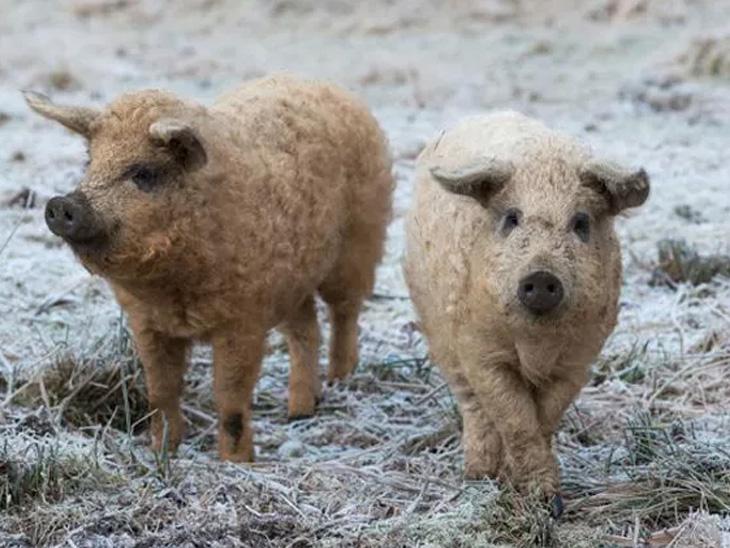 આ છે મંગાલિસ્તા પિગ. આ પ્રાણી સામાન્ય ભૂંડ કરતાં અલગ હોય છે કેમકે તેમની ચામડી પર ઘેટાંની જેમ ઊન હોય છે.