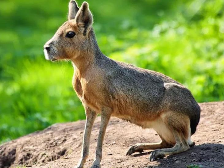 ભાઈ આ દૂબળું પડી ગયેલું સસલું નથી પણ પેટાગોનિયન નામનું અલગ જ પ્રાણી છે. આ અનોખું પ્રાણી આર્જેન્ટીનામાં ખૂબ જોવા મળે છે.