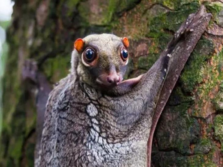 આ પ્રાણીને જોઈને જેવી આપણી આંખો પહોળી થઈ જાય એવી જ આંખો ધરાવતું આ પ્રાણી છે મલાયન કોલુગો. આ ટચકડું પ્રાણી હવામાં ગ્લાઈડિંગ પણ કરી શકે છે અને તે મલેશિયા, સિંગાપોર, થાઈલેન્ડ અને ઈન્ડોનેશિયામાં જોવા મળે છે.