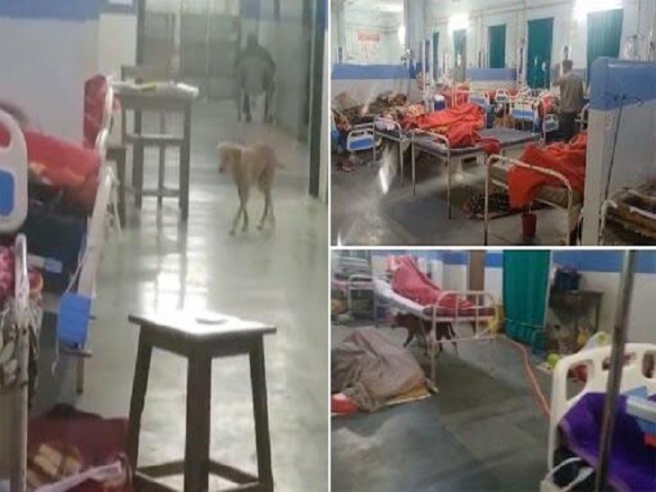 હોસ્પિટલના જનરલ વોર્ડમાં રઝળતા કૂતરા આંટાફેરા મારે, દર્દીઓ સૂતા હોય ને શ્વાન ખાવાનું શોધતા દેખાયા|ઈન્ડિયા,National - Divya Bhaskar