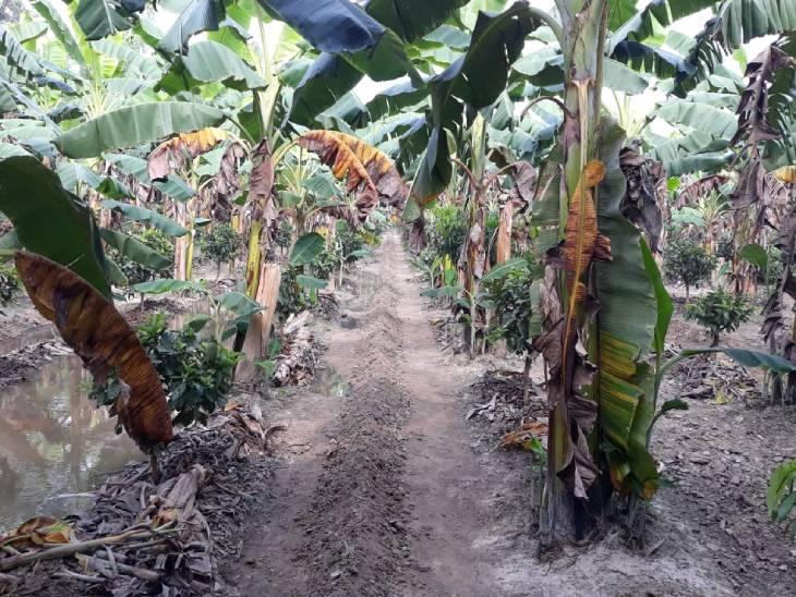 શ્યામ સિંહ હાલ 10 એકર જમીન પર ખેતી કરે છે. તેમના બગીચામાં એક ડઝનથી વધુ વેરાઇટીના પ્લાન્ટ્સ લાગેલા છે.