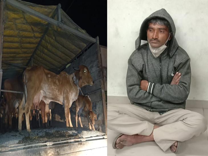 ગોંડલમાં ગૌ સેવકોએ ગાયો ભરેલી ટ્રક પકડી, કતલખાને જતી આઠ ગાયો અને બે વાછરડાના જીવ બચાવ્યા|રાજકોટ,Rajkot - Divya Bhaskar