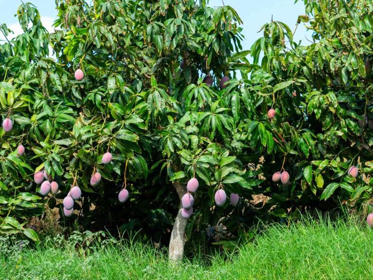 સંપાદન થતી જમીન પરના આંબાના એક વૃક્ષનું 40 હજાર વળતર ચૂકવાશે અમદાવાદ,Ahmedabad - Divya Bhaskar