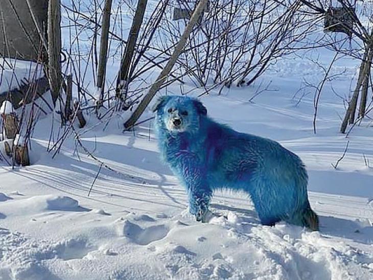 રાસાયણિક પ્રદૂષણના કારણે રખડતા કૂતરાં ભૂરા રંગના થઇ ગયા છે.