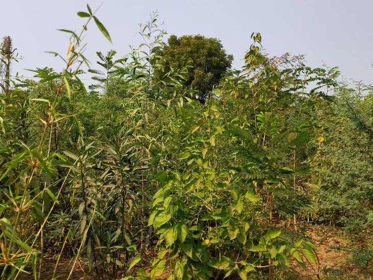 જાપાની મિયાવાકી પદ્ધતિથી ઘરના વાડાની નાની જગ્યામાં પણ ઘનઘોર જંગલ ઉછેરી શકાય છે