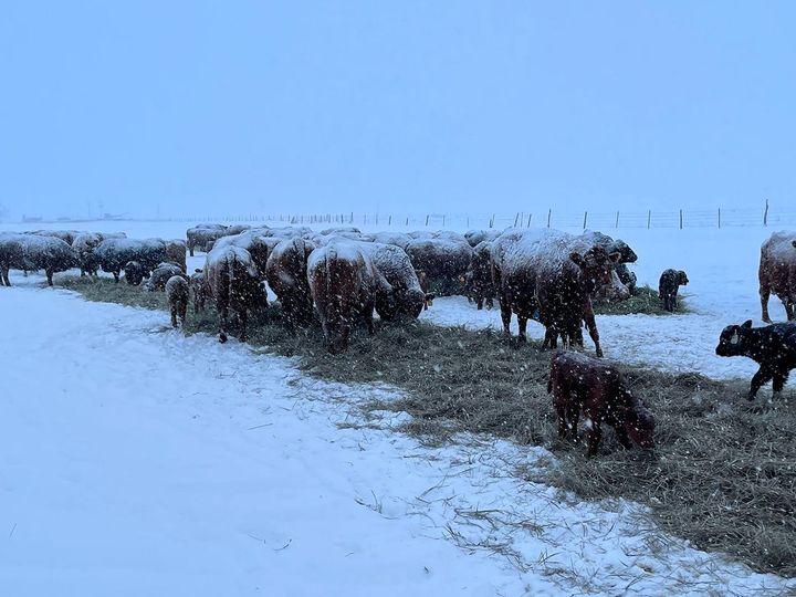 અમેરિકામાં ઠંડીને લીધે વાછરડાંનાંકાન ખરી ગયા, ખેડૂતો ગરમ કપડાં ઓઢાડીઅને તાપણું કરીને તેમનો જીવ બચાવી રહ્યા છે|લાઇફસ્ટાઇલ,Lifestyle - Divya Bhaskar