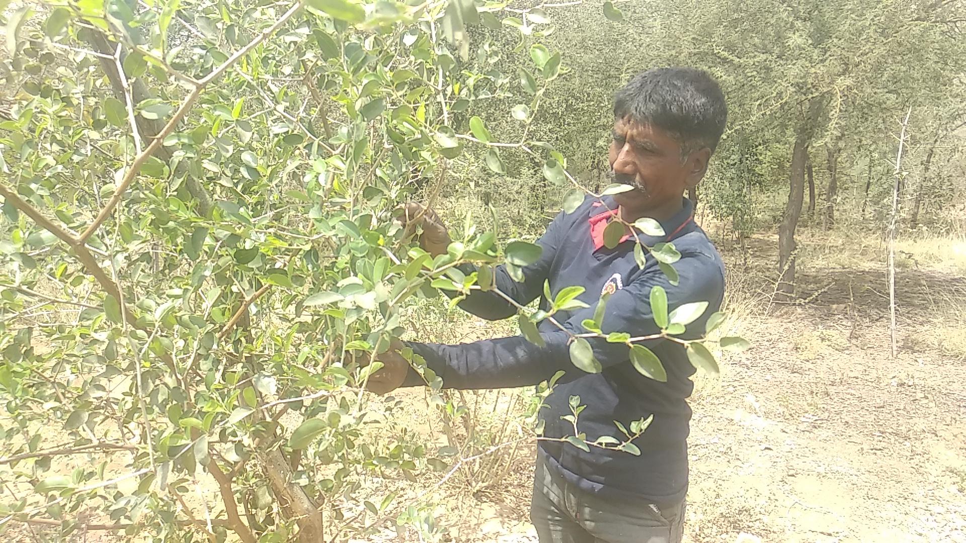 જેસોર અભ્યારણ્ય ખાતે રીંછના ખોરાક માટે રોજમદારે 200 બોરડીને કલમ કરી ઉછેર કર્યો|પાલનપુર,Palanpur - Divya Bhaskar