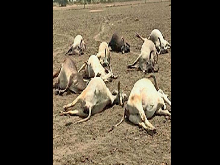 સમીના કાઠીમાં ઝેરી વનસ્પતિ ખાતાં 11, ગાયોનાં મોત, એક ગાય બચાવી લેવાઈ સમી,Sami - Divya Bhaskar