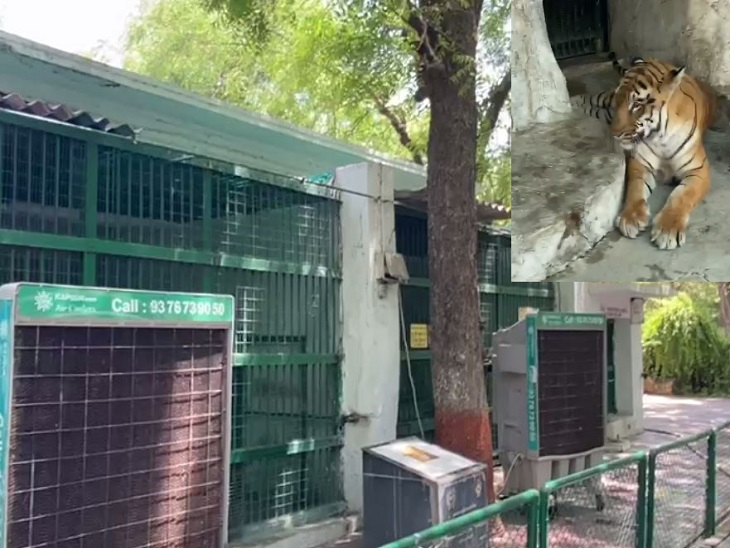 અમદાવાદના કાંકરિયા ઝૂમાં પ્રાણીઓને ગરમીથી રાહત આપવા 25 કૂલર મૂકાયા, પાંજરામાં એન્ટી વાયરલદવાનોછંટકાવ અમદાવાદ,Ahmedabad - Divya Bhaskar