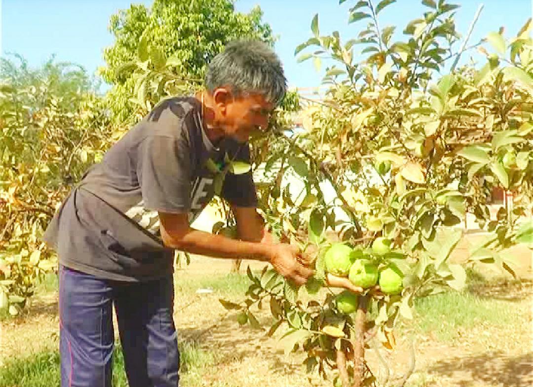 પાણીની સમસ્યાથી કંટાળી ધાનેરાના ખેડૂત દંપતિએ છત્તીસગઢથી જામફળના રોપા લાવી ખેતીમાં સફળતા મેળવી પાલનપુર,Palanpur - Divya Bhaskar