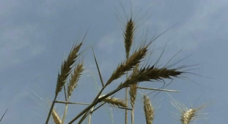 અંકલેશ્વરના ખેડૂત દ્વારા કાળા ઘઉંની ખેતી કરી મબલક પાક કર્યો|ભરૂચ,Bharuch - Divya Bhaskar