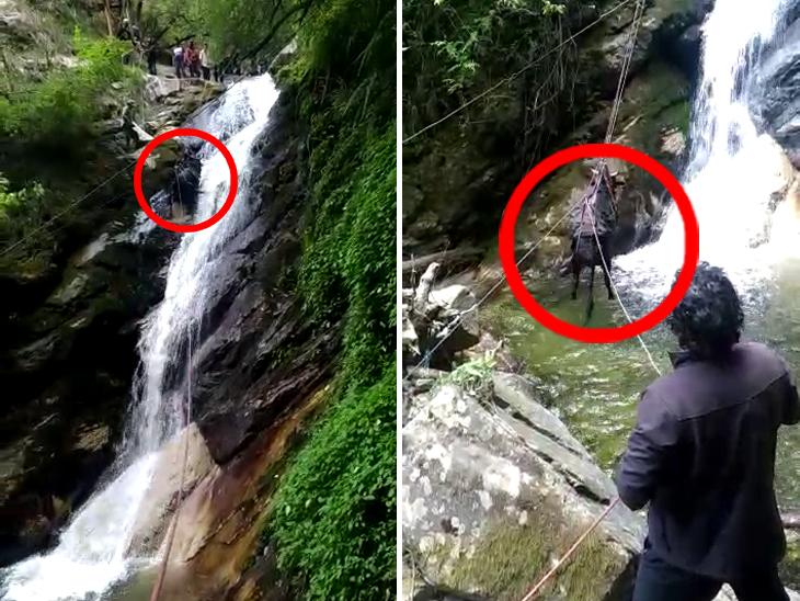 60 મીટર ઊંડી ખીણમાં પડેલા બળદને બચાવવા 7 દિવસ સુધી દિલધડક રેસ્ક્યૂ કરાયું, વીડિયો વાઇરલ ઈન્ડિયા,National - Divya Bhaskar